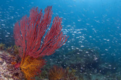 Vida del filón del mar de Cortez Fotos de archivo libres de regalías