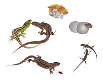 Vida del lagarto
