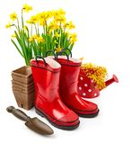 Vida del narciso de la flor de la primavera que cultiva un huerto aún con rojo Imágenes de archivo libres de regalías