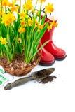 Vida del narciso de las flores de la primavera que cultiva un huerto aún con rojo Fotografía de archivo