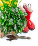 Vida del narciso de las flores de la primavera que cultiva un huerto aún con rojo Fotos de archivo libres de regalías