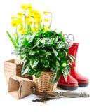 Vida del narciso de las flores de la primavera que cultiva un huerto aún con rojo Imagen de archivo libre de regalías