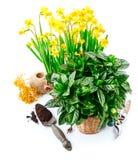Vida del narciso de las flores de la primavera que cultiva un huerto aún con rojo Fotografía de archivo libre de regalías