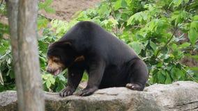 Vida del oso negro del asi?tico de la fauna en bosque metrajes