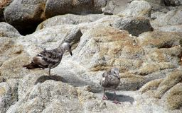 Vida del pájaro en el área de la bahía de Monterrey imagenes de archivo