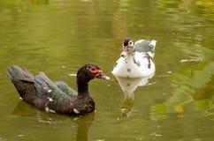Vida del pato Fotografía de archivo