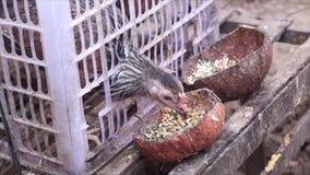 Vida del pollo en jaula del envase de plástico en el campo metrajes