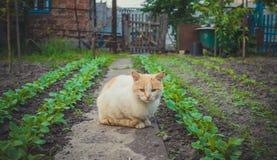 Vida del pueblo en verano Gato del jengibre en un fondo de las camas verdes del jardín Foto de archivo