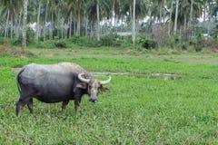 Vida do búfalo no campo Imagem de Stock Royalty Free