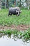 Vida do búfalo no campo Fotos de Stock Royalty Free
