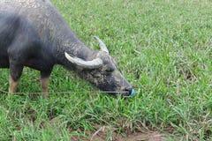 Vida do búfalo no campo Foto de Stock Royalty Free