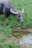 Vida do búfalo no campo Fotografia de Stock