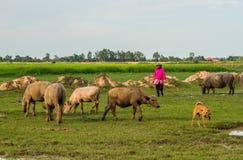 Vida dos búfalos Fotografia de Stock
