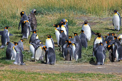 Vida dos pinguins de rei selvagem em Parque Pinguino Rey, Patagonia, o Chile Foto de Stock