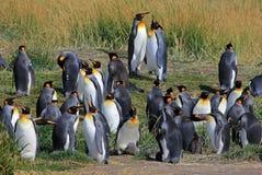Vida dos pinguins de rei selvagem em Parque Pinguino Rey, Patagonia, o Chile Fotografia de Stock