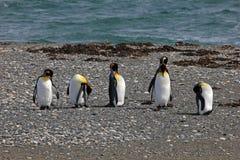 Vida dos pinguins de rei selvagem em Parque Pinguino Rey, Patagonia, o Chile Fotos de Stock Royalty Free