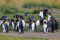 Vida dos pinguins de rei selvagem em Parque Pinguino Rey, Patagonia, o Chile Imagem de Stock Royalty Free