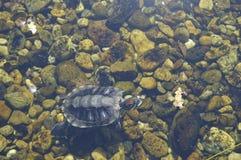 Vida em tadpoles pequenos da água? no olhar da água como o esperma Fotos de Stock