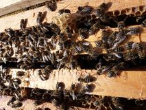 Vida en beehouse-ocupado como abeja Fotos de archivo libres de regalías