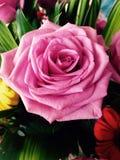 Vida en rosa Fotos de archivo libres de regalías