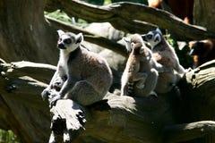 Vida familiar de los monos del Lemur Ring-tailed Fotografía de archivo libre de regalías
