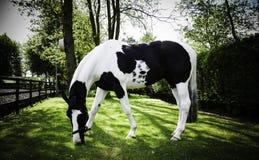 Vida feliz do cavalo na caverna sul BRITÂNICA Imagens de Stock Royalty Free