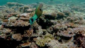 Vida marina del arrecife de coral en el mar de coral en la gran barrera de coral almacen de metraje de vídeo
