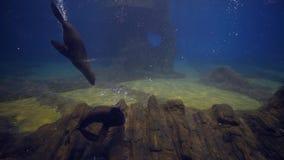 Vida marina, el nadar de los sellos subacuático y el jugar en acuario grande almacen de metraje de vídeo