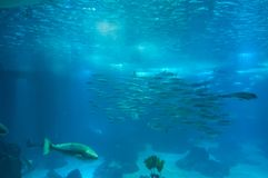 Vida marina en el oceanarium de Lisboa, Portugal Imagen de archivo