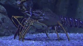 Vida marina fea submarina almacen de metraje de vídeo