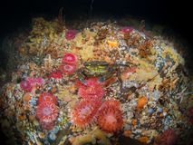 Vida marinha britânica - Loch Etive Foto de Stock Royalty Free