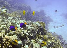 Vida marinha do Mar Vermelho Imagens de Stock