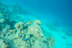 Vida marinha exótica perto da ilha de Maldivas Fotografia de Stock Royalty Free