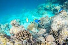 Vida marinha exótica perto da ilha de Maldivas Foto de Stock Royalty Free