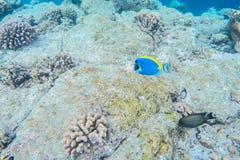Vida marinha exótica perto da ilha de Maldivas Imagens de Stock