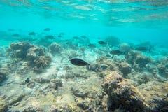 Vida marinha exótica perto da ilha de Maldivas Foto de Stock