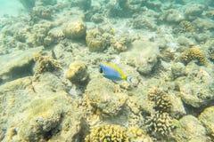 Vida marinha exótica perto da ilha de Maldivas Fotografia de Stock
