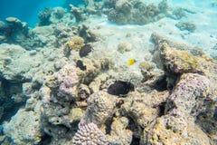 Vida marinha exótica perto da ilha de Maldivas Imagem de Stock Royalty Free