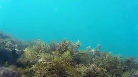 Vida marinha subaquática colorida em um seafloor raso com plâncton vegetal no mar video estoque