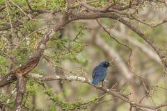 Vida Nambiti del pájaro Fotografía de archivo