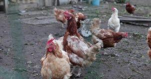 Vida nas capoeiras de galinha vídeos de arquivo