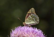 Vida natural; borboleta na natureza Fauna/conceito da flora fotos de stock royalty free