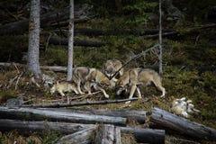 Vida no bloco dos lobos fotografia de stock