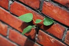 Vida nova forte na parede de tijolo vermelho Imagens de Stock