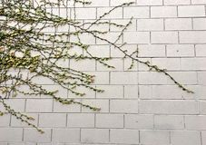 Vida que cresce em uma parede de tijolo Fotografia de Stock Royalty Free