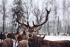 Vida salvaje natural de presentación animal del árbol de abedul de la naturaleza del bosque de los ciervos del país de las maravi Imágenes de archivo libres de regalías