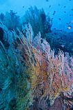 Vida saudável de Coral Reef fora da ilha de Balicasan, Filipinas Imagens de Stock Royalty Free