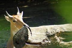 Vida secreta hiding Ciervos salvajes foto de archivo