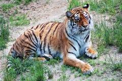 Vida secreta hiding Tigre imagenes de archivo