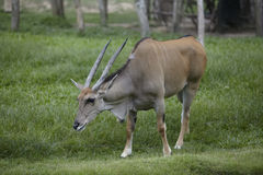 Vida selvagem de Bull Imagens de Stock